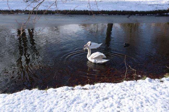 Schonmaier swans.jpg